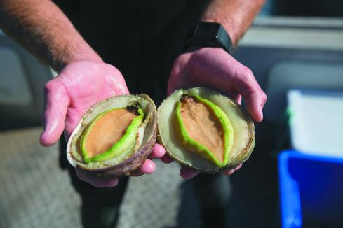 Ocean Grown Abalone facing legal action from supplier