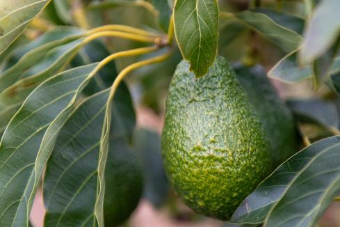Emanuel Exports enters avocado sector