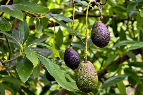 Alterra plants first avocado trees at Carpenters