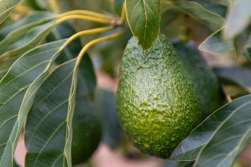 Alterra finds avocado project viable