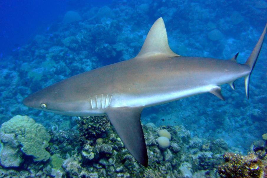 Reef sharks resurface in WA