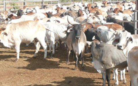 Australia should prepare for lower beef quotas: an Indonesian View